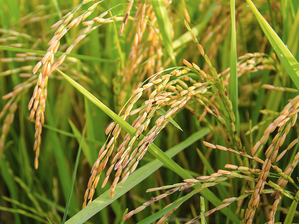 /agriculture/images/content/icon-rice2.jpg