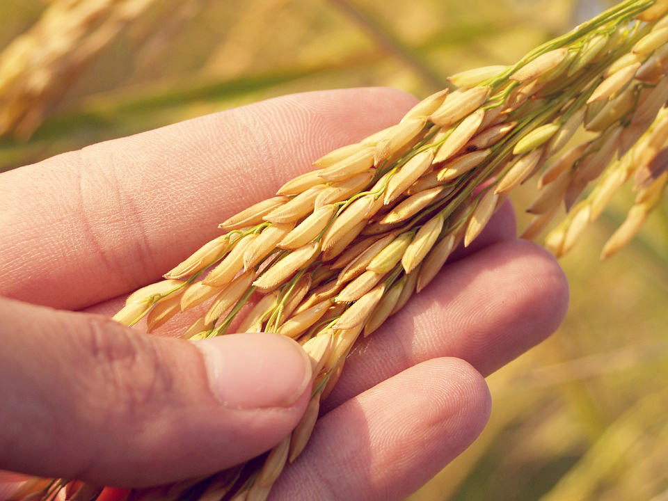 /agriculture/images/content/icon-rice3.jpg