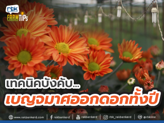 https://www.rakbankerd.com/icon/2932-farm-tips_เบญจมาศ2_320x240.jpg