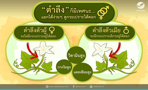 Infographic/79xi_infographic_ตำลึง2.jpg